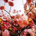 造幣局の桜を車いすの母に見せたい!通り抜けの最寄駅は?混み具合も!