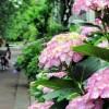 あじさい祭り2017日程!果子乃季で花見&スィーツ三昧の週末!