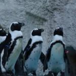 おたる水族館のペンギンショーは人気が出て話題になってる!